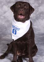 Brandie Weisel Labrador Retriever