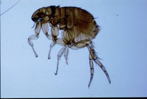 Close-up photo of a flea, CC Flickr / AFPMB