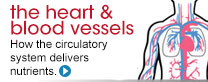 The heart and blood vessels. How the circulatory system delivers nutrients.