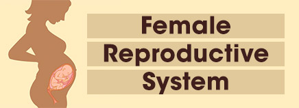 Female Reproductive System (Slideshow)