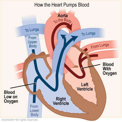 Illustration: How the heart pumps blood