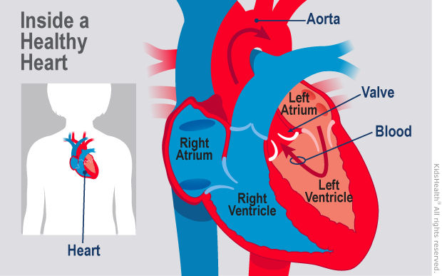 Inside a healthy heart where valves and blood flow are working.