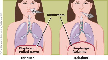 Illustration shows the diaphragm during inhalation and exhalation.