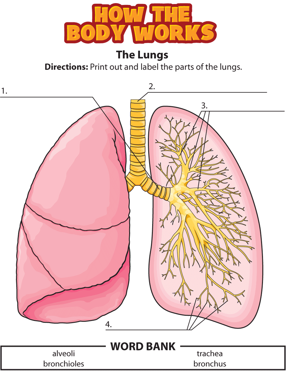 Kidshealth  Activity  The Lungs