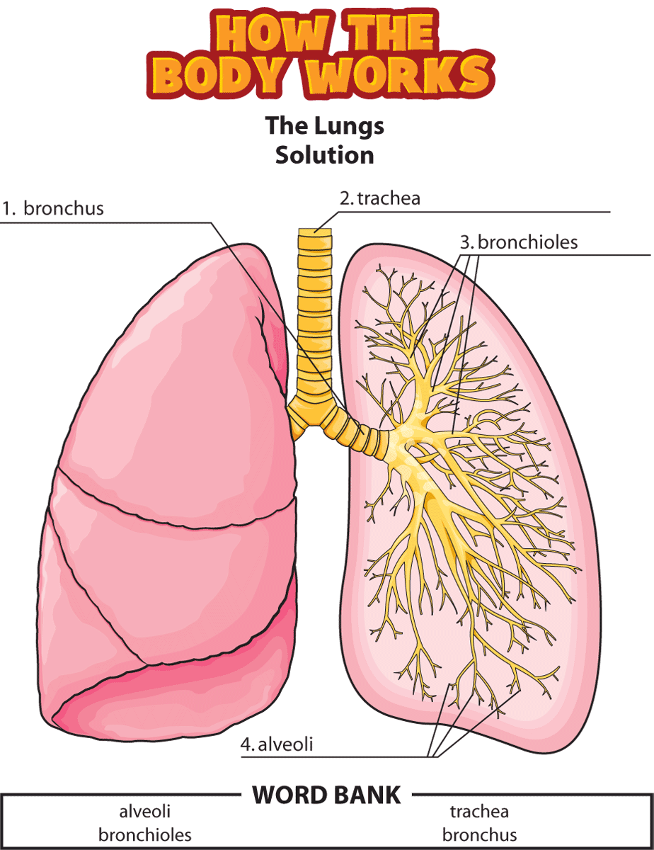 HTBW lungs solutions PNG