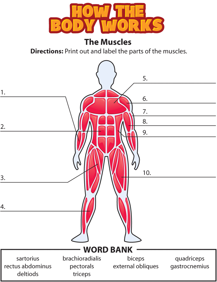 HTBW muscles png